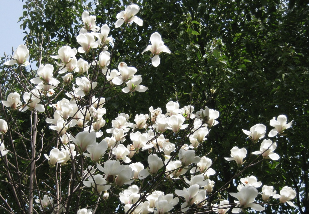 Магнолия - цветок Шанхая