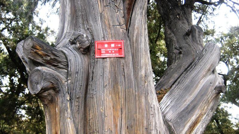 Табличка на этом дереве гласит, что кипарис был высажен лично Императором Династии Минь Chengzu, и составляет 13,5 метров в высоту, 5,5 метров в диаметре ствола!